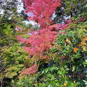 我が家の庭に 紅葉が 紅葉しました