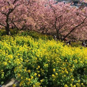 河津桜と菜の花の共演、スマホ版