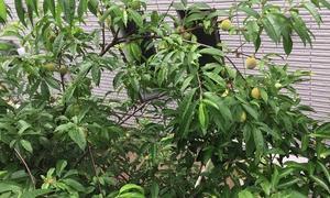 ☆ひとりごと(2):裏庭の桃が、半端ない!
