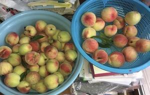 ☆ひとりごと(6):桃の収穫、いつも鳥に越される!
