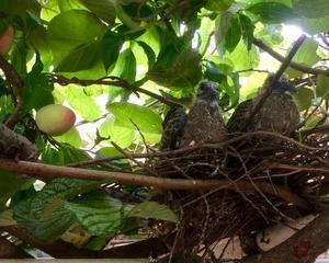 ☆ひとりごと(43):キウィ棚の上で、鳩のヒナが育ってます!