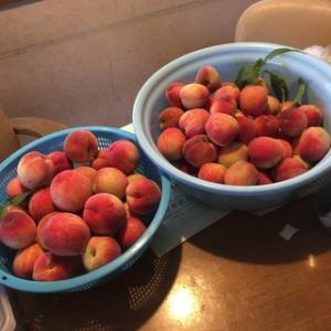 ☆ひとりごと(44):桃を収穫してたら、鳩のヒナが巣立って行きました。