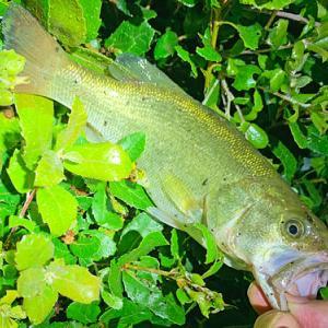 バス釣り 暖かい雨上がりの淡水魚は活性高い!?
