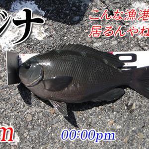 黒鯛諦めグレを釣る!周防大島の黒鯛(チヌ)釣り#018