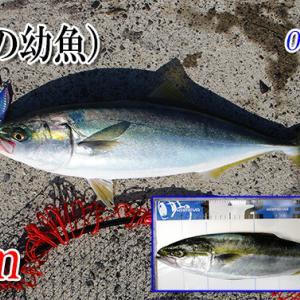 エギング行ってハマチ釣る!瀬戸内エギング(アオリイカ釣り)#017