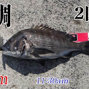 見えチヌ釣れた!山口県柳井市の黒鯛(チヌ)釣り #040