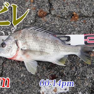 気温も釣果も寒い!周防大島の黒鯛(チヌ)釣り #019