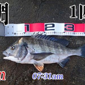 2019年初釣り!山口県柳井市の黒鯛(チヌ)釣り #032