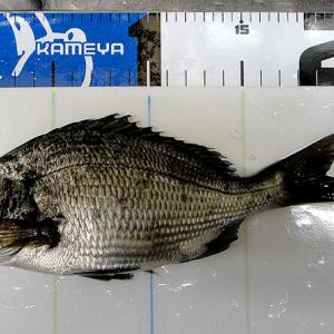 ホゲッてんじゃないか?柳井市の黒鯛(チヌ)釣り #043