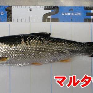 刺し餌忘れた!日本海の黒鯛(チヌ)釣り#003