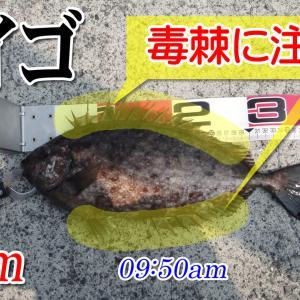 40cmのアイゴ!柳井市の黒鯛(チヌ)釣り #044