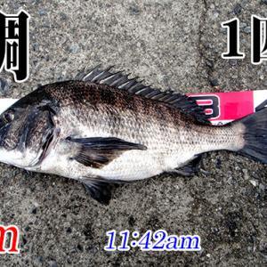 わずか30分の時合?山口県柳井市の黒鯛(チヌ)釣り #033