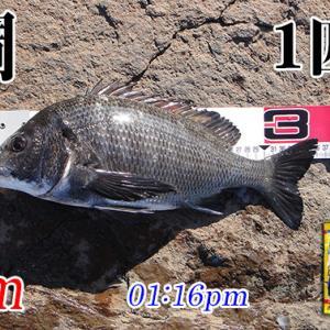 雨中釣行したポイントでリヴェンジ!周防大島の黒鯛(チヌ)釣り #023