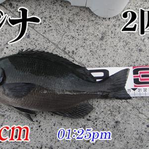爆風にラインを取られて大惨敗!柳井市の黒鯛釣り #047