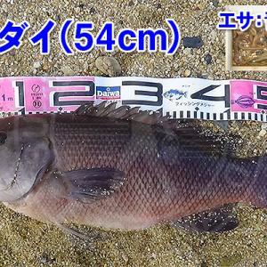 カレイ釣りに行ったら奴が来た!周防大島の投げ釣り #002