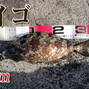 毒魚は引きが楽しい!山口県柳井市の黒鯛(チヌ)釣り #026