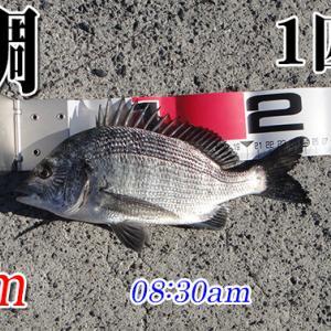 サイズが伸びねぇ!山口県柳井市の黒鯛(チヌ)釣り #028