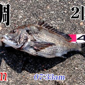 年無しは現れず!周防大島の黒鯛(チヌ)釣り #016