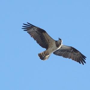 ミサゴ飛翔。