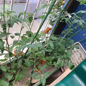 プチトマト収穫♪ (2020年ベランダトマト対決その4)