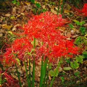 引き続き秋のお花