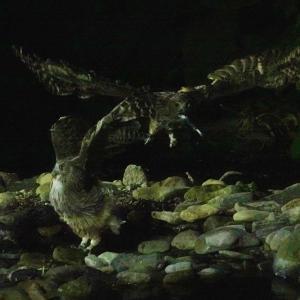 北海道放浪記 49 シマフクロウ