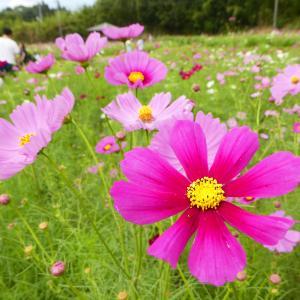 見頃に気をつけて!慈眼寺公園と錦江湾公園のコスモス