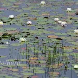 志賀高原 夏の花