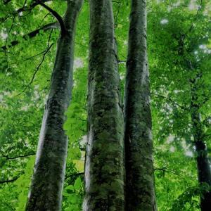 雨の日のブナ林
