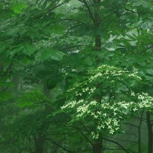 山中にヤマボウシ咲く
