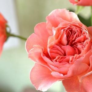 【flower photo】バラ「かおりかざり」