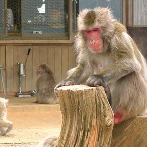【京都嵐山モンキーパーク訪問記】かわいい猿が120頭!赤ちゃんザルも!割引料金で遊んできた感想