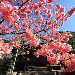 土肥桜1月21日