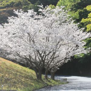 クリスタルパーク裏の桜