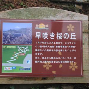 速咲き桜の丘
