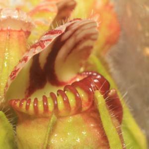 セファロタスCephalotus follicularis