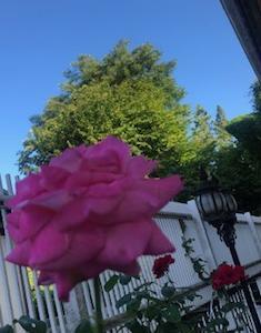 君は薔薇のように美しい