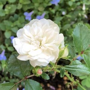 この秋1番薔薇