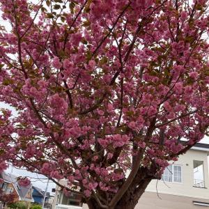 千歳安田ピアノ教室 自宅の八重桜が咲きました。