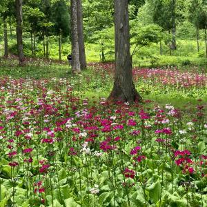 宇津江四十八滝山野草花園 花の森 クリンソウ