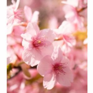 それでも桜は咲いています…