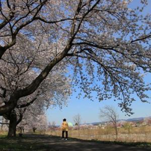 桜は上出来