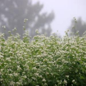 雨のそば畑