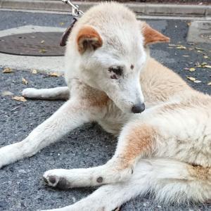 「衰弱して立ってるのもようやくな老犬が収容されています~香川県」