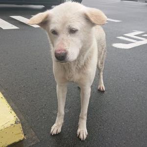 「愛知県のファミリーマートで白い犬が保護されました。飼い主さん捜してますか?」