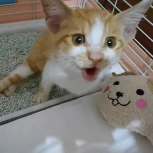 「小石と砂を食べさせられ虐待された子猫~滋賀県」