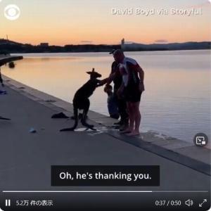 「助けた野生のカンガルーがお礼の握手をしてきた?」