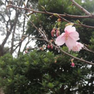 サクラが咲いたよーっ!今年一番最初の河津桜~♪