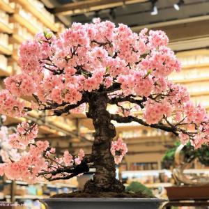 世界に誇る日本の「BONSAI」