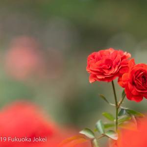 福岡花写真 秋バラの季節 福岡市植物園 その1